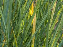Green and yellow stripes. The long broad leaves of tall grass similar to tape. Fresh and dry green and yellow stripes stock photography