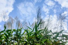 Long broom grass plants, with blue sky background.  Royalty Free Stock Images