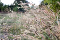 Long brown wild grass blowing in the wind Stock Images
