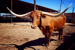 Long buffalo horn Royalty Free Stock Photography