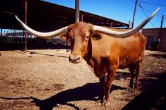 Long buffalo horn. Texas, USA Royalty Free Stock Photography