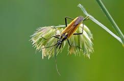 Long bug Stock Photo