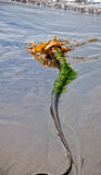 Long Bulbous Strand of Seaweed on Beach Shore Royalty Free Stock Photography