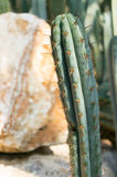 Long cactus Stock Photography