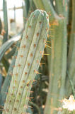 Long cactus Royalty Free Stock Photo