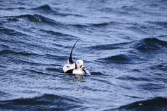 Long canard suivi Photo libre de droits