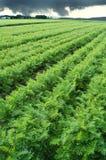Long carrot field Royalty Free Stock Photos