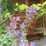 Long chair. Sage flower in a.pot Royalty Free Stock Photography