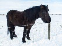 Long cheval noir d'islandais de cheveux Images stock