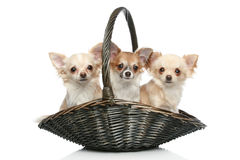 Long coat chihuahua in basket Stock Photo