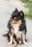 Long Coat Chihuahua. Black long coat chihuahua sitting Royalty Free Stock Image