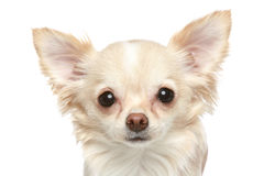 Long coat chihuahua closeup portrait Stock Photos