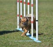 Long Coat Chihuahua at Dog Agility Trial Royalty Free Stock Photography