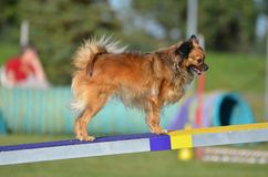 Long Coat Chihuahua a Dog Agility Trial. Long Coat Chihuahua on a Teeter-Totter at a Dog Agility Trial Stock Image