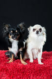 Long-coat chihuahua dogs. Two beautiful little long-coat chihuahua dogs sitting together on a red carpet posing for a studio portrait against a dark background Royalty Free Stock Photography