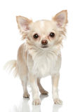 Long coat chihuahua on a white background. Long coat chihuahua puppy on a white background Royalty Free Stock Photos