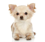 Long coat chihuahua on a white background. Long coat chihuahua puppy lies on a white background Stock Images