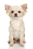 Long coat chihuahua on a white background. Long coat chihuahua puppy sits on a white background Stock Photo