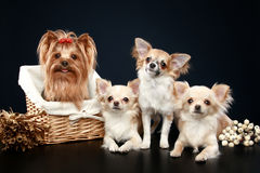 Long coat chihuahua and Yorkshire terrier Stock Image