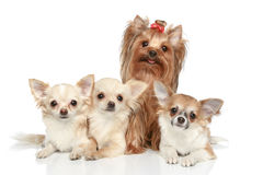 Long coat chihuahua and Yorkshire terrier Stock Photos