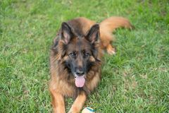 Long coat red and black German shepherd dog outdoors. On green lawn with a ball Stock Images