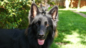Long Coated Black German Shepherd Dog. Young Long Coated German Shepherd Dog watchful and alert Stock Photography