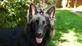 Long Coated Black German Shepherd Dog Stock Photography