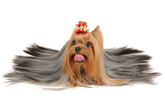 Long coated Yorkshire Terrier lies on white Stock Image