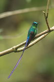 Long colibri coupé la queue dans une forêt Venezuela Photo stock