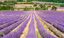 Long column of lavender field of Lavender in Sault. Long column of Lavender fields in Sault, Vaucluse , Provence, France with soft background of rural Sault Royalty Free Stock Photos