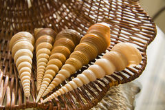 Long conic  Marine shells over straw basket Stock Photography