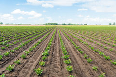 Long converging rows with young Celeriac plants on a wet field Stock Photo