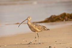 Long courlis cendré affiché sur la plage Photographie stock libre de droits