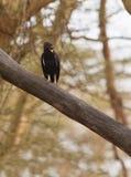Long-crested Eagle Royalty Free Stock Image