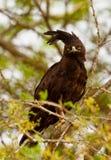 Long-crested Eagle. A Long-crested Eagle (Lophaetus occipitalis) on a tree at Lake Nakuru National Park, Kenya royalty free stock image