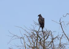 Long-crested Eagle in Africa Stock Photography