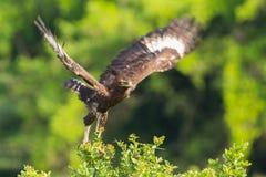 Long-crested Eagle Launching From Acacia. A Long-crested (Hawk) Eagle, launching into flight from the top of an Acacia bush in Kenya's Nairobi National Park Stock Photography
