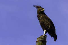 Long Crested Eagle on Pole Lophaetus occipitalis. Long Crested Eagle perched pole Lophaetus occipitalis Stock Images