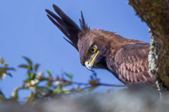Long-crested Eagle Portrait. A Long-crested Eagle (aka Long-crested Hawk Eagle) portrait of head and shoulders, peering down from the branch of a tree in Stock Image