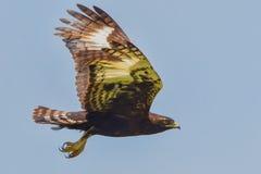 Long-crested or Hawk Eagle Flying. A Long-crested Eagle aka Long-crested Hawk Eagle, flying in the skies above Nairobi National Park, Kenya Stock Photos