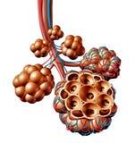 Long de Ademhalingsconcept van de Alveolen Menselijk Anatomie vector illustratie