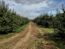 Long dirty road in an apple orchard farm Royalty Free Stock Images