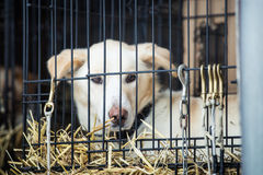 Long distance siberian sled dog in cage waiting for a race Stock Image