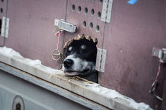 Long distance siberian sled dog in cage waiting for a race Stock Photos