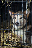 Long distance siberian sled dog in cage waiting for a race Royalty Free Stock Photography