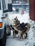 Long distance siberian sled dog in cage waiting for a race Stock Images