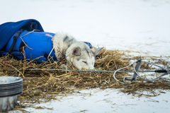 Long distance siberian sled dogs resting in blankets during the race Royalty Free Stock Image