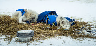 Long distance siberian sled dogs resting in blankets during the race Royalty Free Stock Images