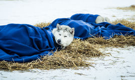 Long distance siberian sled dogs resting in blankets during the race Stock Image