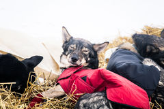 Long distance siberian sled dogs resting in blankets during the race Stock Images